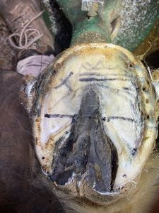 Hoof Mapped foot ready for Clogs